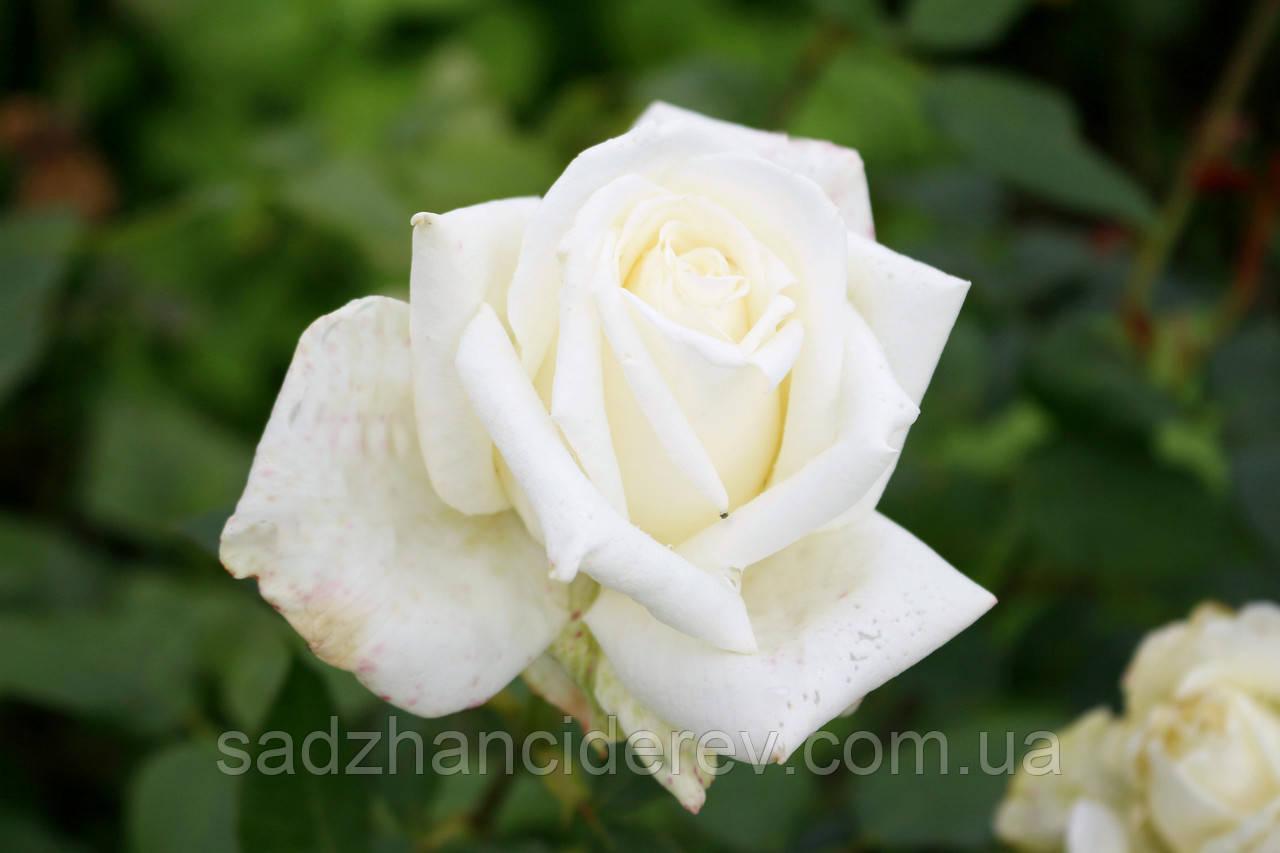 Саджанці троянд Маунт Шаста (Mount Shasta)