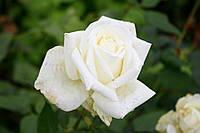 Саджанці троянд Маунт Шаста (Mount Shasta), фото 1