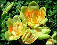 Лириодендрон тюльпановый(семена 4шт), фото 1