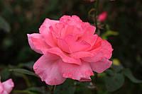 Саджанці троянд Queen Elizabeth (Queen of England, The Queen Elizabeth Rose)