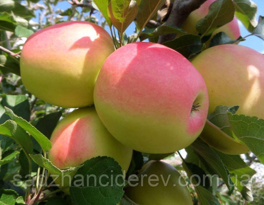Саджанці яблунь Кандиль Синап