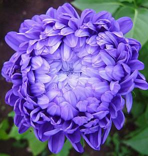 Семена астры «Седая Дама» синяя 50 г, фото 2