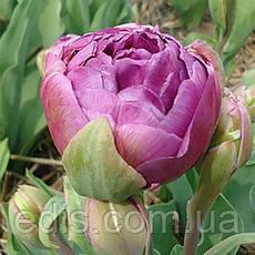 Тюльпан Wow Blue (Вау Блу) махровый поздний 2 луковицы, фото 3
