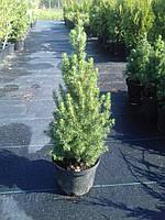Ель канадская Коникa C1,5 30-40cm