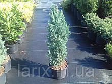 Кипарисовик Элвуди (Ellwoodii) C1.5 30-50см