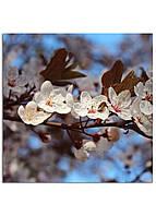Фотокартина на холсте Вишневый сад, 25*25 см