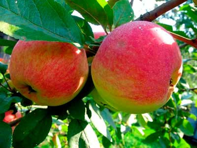 Сажанци яблони Амулет(Осень)