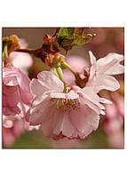 Фотокартина на холсте Сакура, 25*25 см