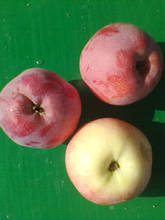 Саджанці яблуні Флоріна