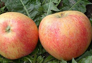 Саженцы яблони Теремок(Осень)