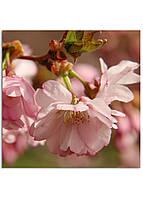 Фотокартина на холсте Сакура, 30*30 см