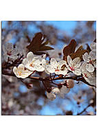 Фотокартина на холсте Вишневый сад, 40*40 см
