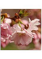 Фотокартина на холсте Сакура, 60*60 см