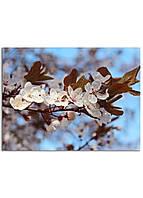 Фотокартина на холсте Вишневый сад, 60*80 см