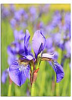 Фотокартина на холсте Поле ирисов, 60*80 см
