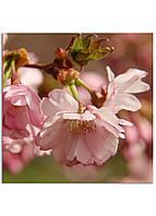 Фотокартина на холсте Сакура, 70*70 см