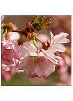 Фотокартина на холсте Сакура, 80*80 см