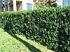 Рослини для живих  і зелених огорож, парканів, клумб. Бук, граб, липа, калина, ель