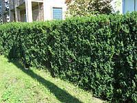 Рослини для живих  і зелених огорож, парканів, клумб. Бук, граб, липа, калина, ель, фото 1
