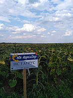Семена подсолнечника НС Таурус, посевной материал