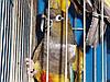 Патагонские попугаи - Cyanoliseus.