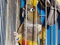 Патагонские попугаи - Cyanoliseus., фото 1