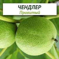 Привитые саженцы грецкого ореха Чандлер, фото 1