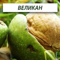 Грецкий орех Великан, двухлетний