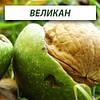 Грецкий орех Великан, трехлетний