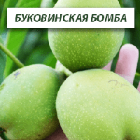 Грецкий орех Буковинская Бомба, трехлетний