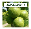 Грецкий орех Буковинский 1, трехлетний