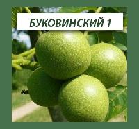 Грецкий орех Буковинский 1, трехлетний, фото 1