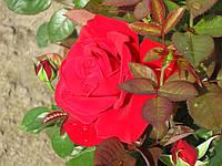 Роза Конрад Хенкель. Чайно-гибридная роза.