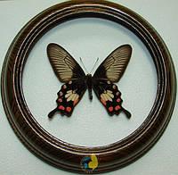 Сувенир - Бабочка в рамке Atrophaneura adamsoni f. Оригинальный и неповторимый подарок!, фото 1