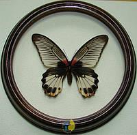 Сувенир - Бабочка в рамке Papilio memnon f. Оригинальный и неповторимый подарок!, фото 1