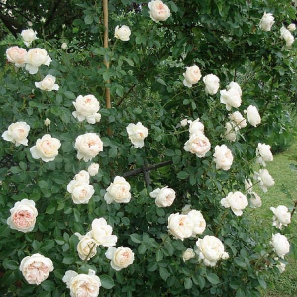 Роза Мон Жарден э Ма Мезон (Mon Jardin et Ma Maison) Плетистая