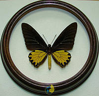 Сувенир - Бабочка в рамке Troides helena m. Оригинальный и неповторимый подарок!, фото 1