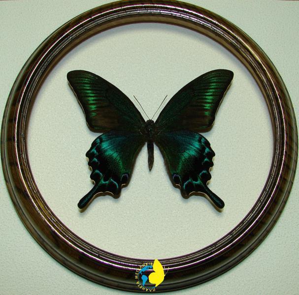 Сувенир - Бабочка в рамке Papilio maackii m. Оригинальный и неповторимый подарок!