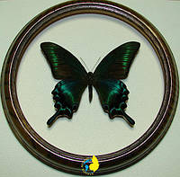 Сувенир - Бабочка в рамке Papilio maackii m. Оригинальный и неповторимый подарок!, фото 1