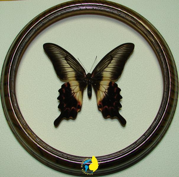 Сувенир - Бабочка в рамке Papilio oenomaus f. Оригинальный и неповторимый подарок!