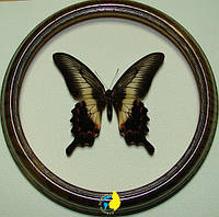Сувенир - Бабочка в рамке Papilio oenomaus f. Оригинальный и неповторимый подарок!, фото 1