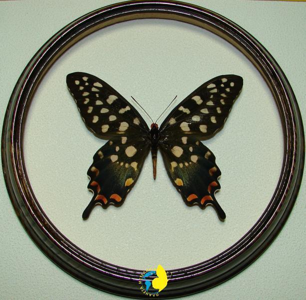 Сувенир - Бабочка в рамке Papilio antenor f. Оригинальный и неповторимый подарок!