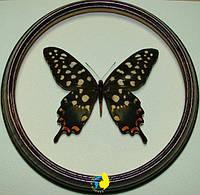 Сувенир - Бабочка в рамке Papilio antenor f. Оригинальный и неповторимый подарок!, фото 1