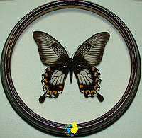 Сувенир - Бабочка в рамке Papilio ascalaphus f. Оригинальный и неповторимый подарок!, фото 1