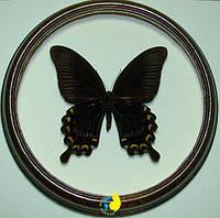 Сувенир - Бабочка в рамке Papilio ascalaphus ascalon m. Оригинальный и неповторимый подарок!, фото 1