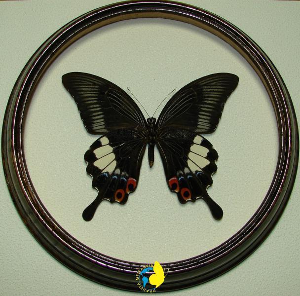 Сувенир - Бабочка в рамке Papilio iswara f. Оригинальный и неповторимый подарок!