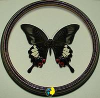 Сувенир - Бабочка в рамке Papilio iswara f. Оригинальный и неповторимый подарок!, фото 1