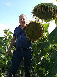 Семена подсолнечника Бомбардиер (Гибрид Равенна)