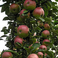 Яблоня Колоновидная Арбат.