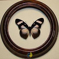 Сувенир - Бабочка в рамке Hypolimnas anthedon m. Оригинальный и неповторимый подарок!, фото 1